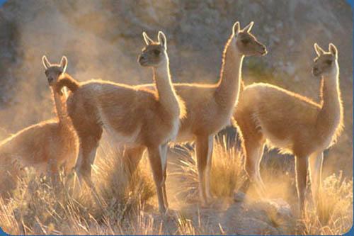 Autoridades adoptarán medidas ante muerte de guanacos en parque nacional de Atacama