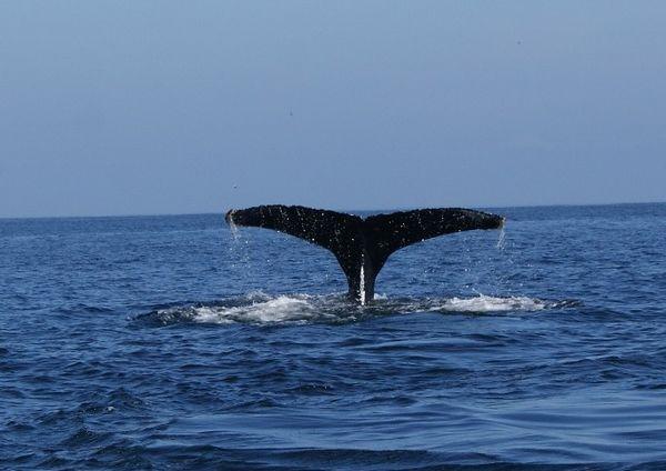 Avistamiento de ballenas en la caleta Chañaral