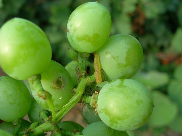 SAG realiza campaña para combatir plaga que afecta a la uva de mesa y vino