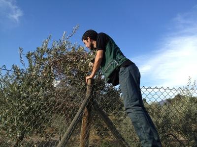 Resaltan condición sanitaria de los olivos de Atacama