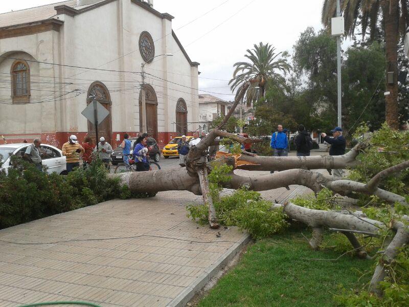 Caída de árbol provoca revuelo en plaza O´Higgins. No hubo lesionados