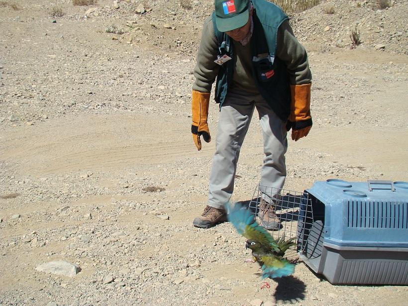 Retornan loro tricahue a su medio natural en cercanías de Vallenar