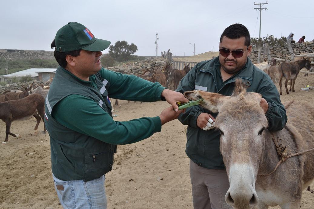 Examinan burros en Carrizalillo ante presencia de virus
