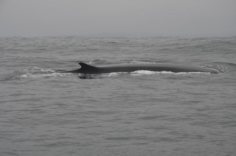Dan inicio a la temporada de Avistamiento de Cetáceos en Chañaral de Aceituno