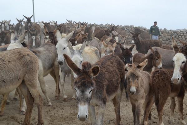 control burros