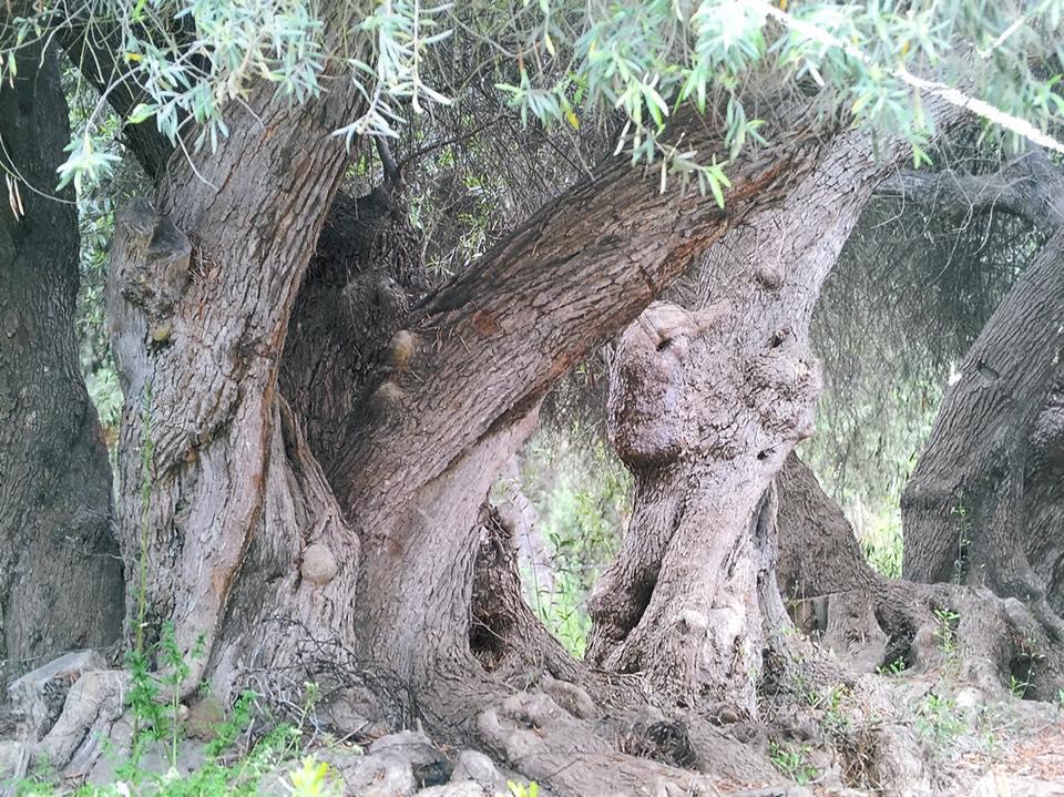 Los Olivos Centenarios de Huasco Bajo tendrían más de 400 años de edad según estudio científico