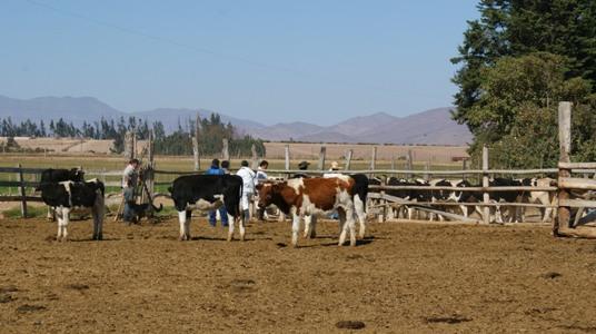 Proyecto destinado al manejo estratégico de ovinos y caprinos se llevará a cabo en la provincia de Huasco