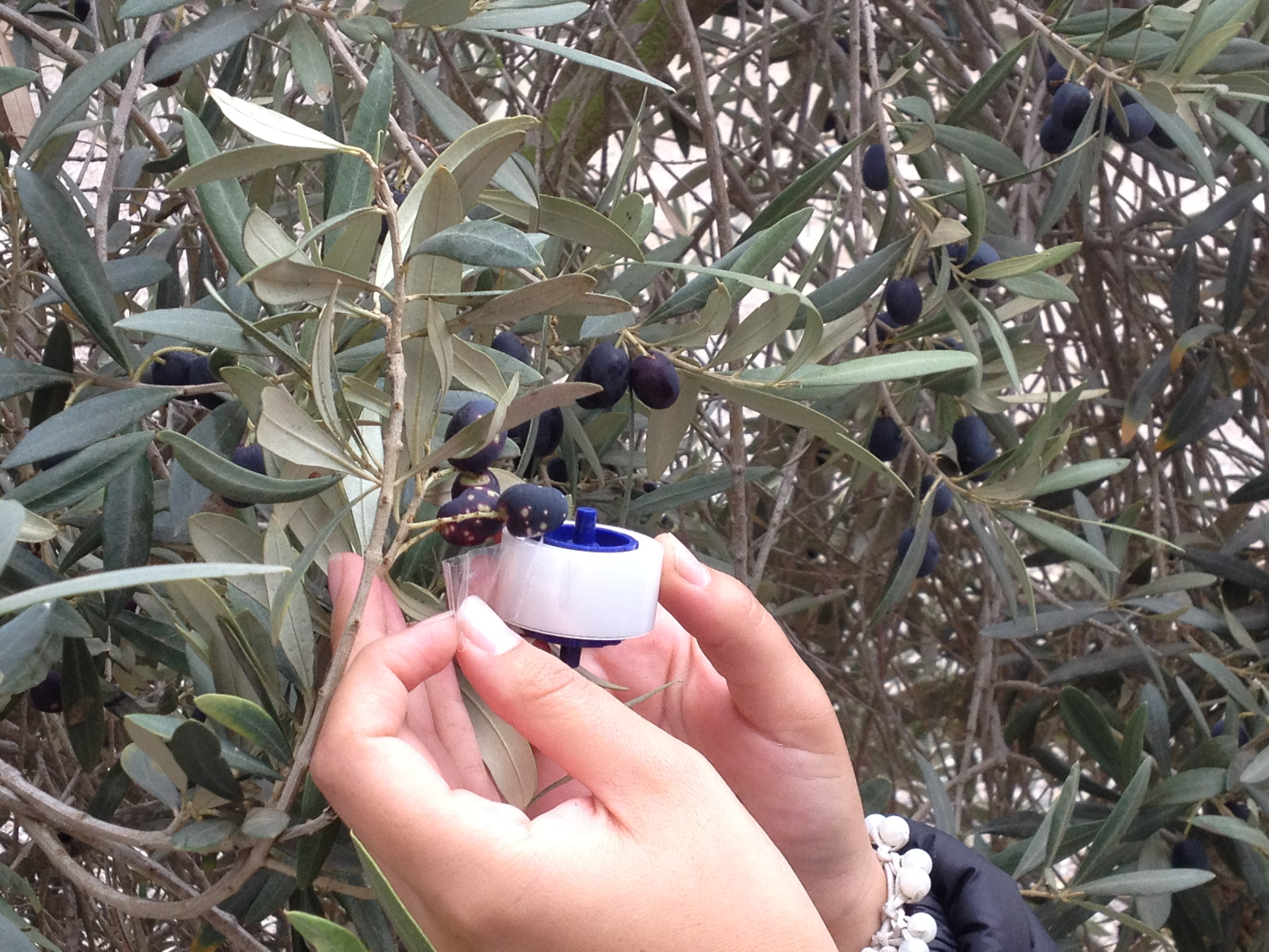 Olivicultores en alerta por presencia de plaga de Escama Blanca