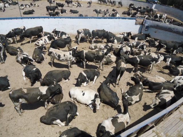 En Freirina reciben a cerca de 500 vaquillas rumbo a Perú