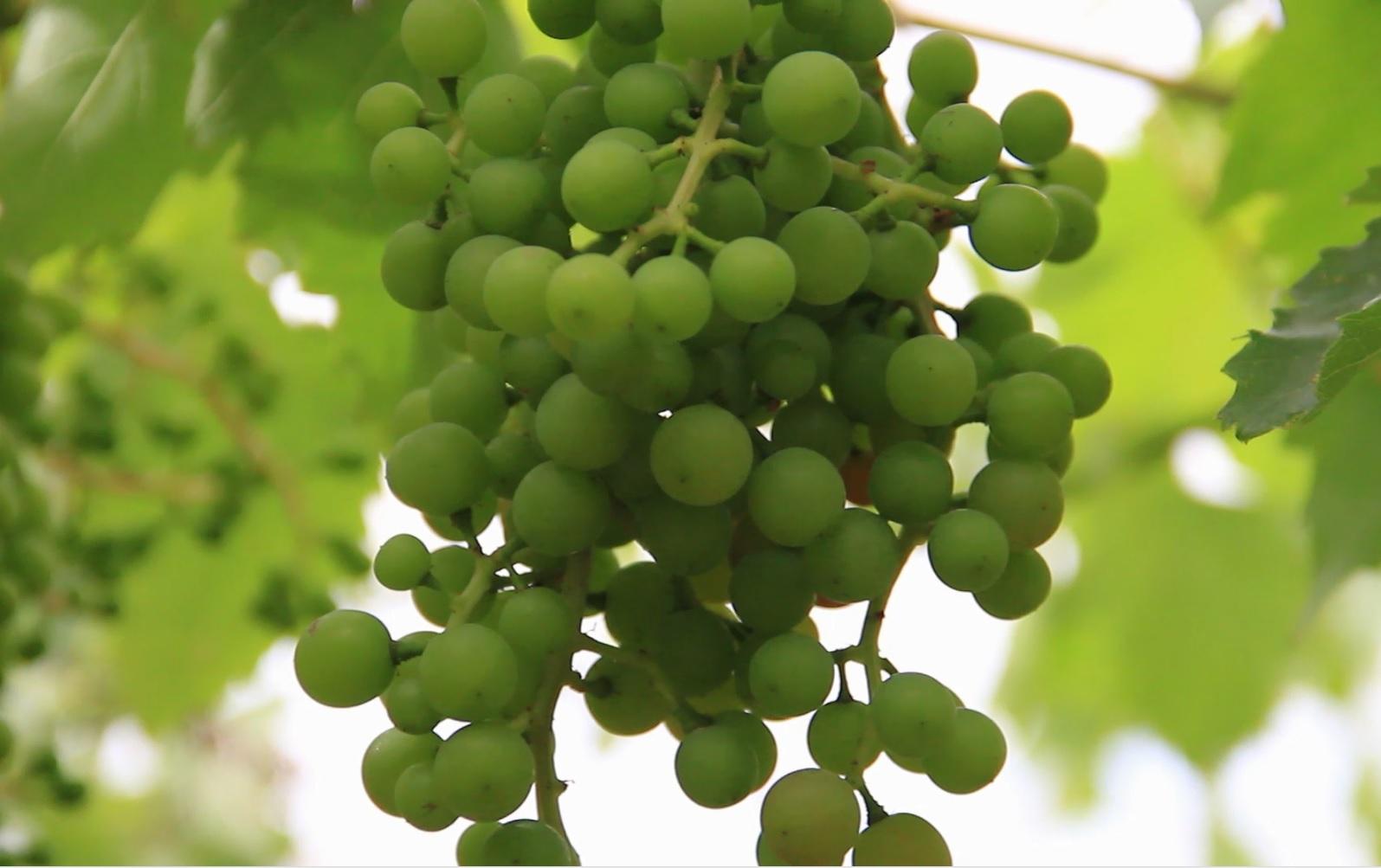 Pequeños productores de Uva de Mesa del Valle del Huasco reciben apoyo para mejorar su competitividad