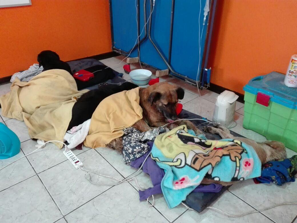 Perros callejeros de Huasco aparecen muertos