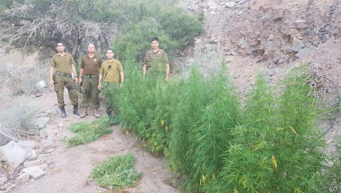 Hallan dos paños de plantación de marihuana en quebrada de Alto del Carmen