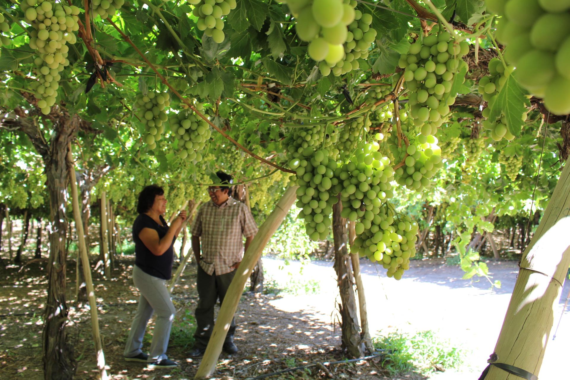 Programa de apoyo a productores de uva de la Provincia de Huasco tendrá segundo año de ejecución