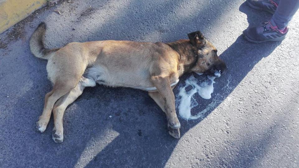 Presentarán querella por envenenamiento de perros en Vallenar