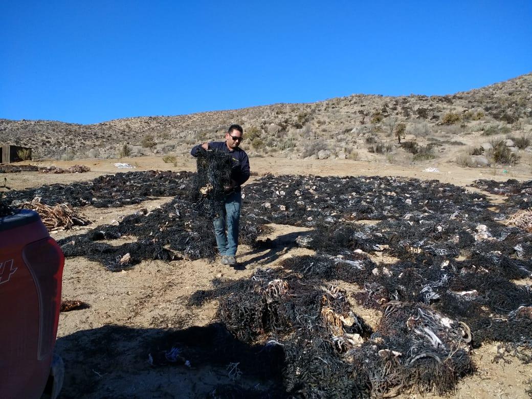 Sernapesca incauta 10 toneladas de huiro negro barreteado desde planta en Freirina