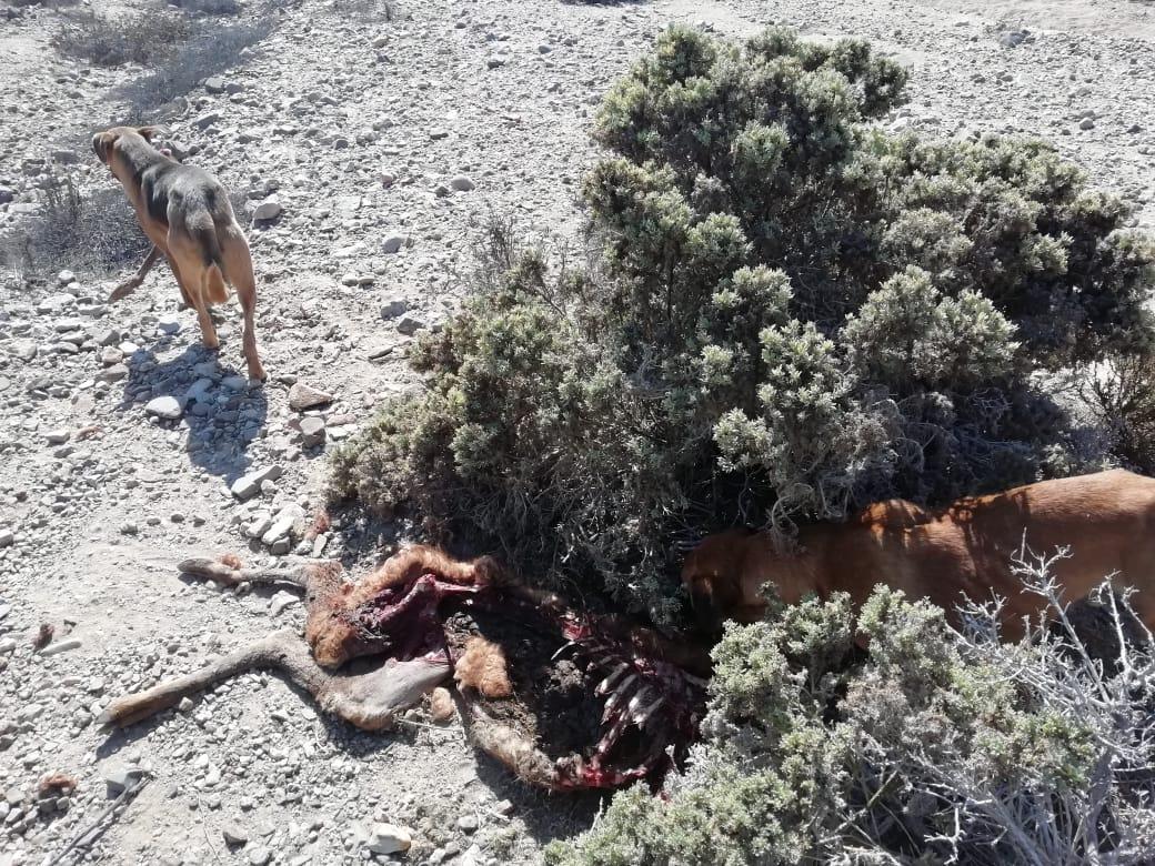CONAF detecta perros alimentándose de guanaco al interior del Parque Nacional Llanos de Challe