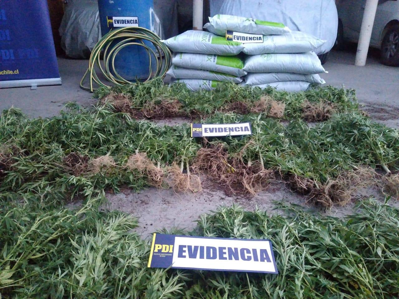 Detienen a tres sujetos por tráfico de drogas y plantación de marihuana en Vallenar
