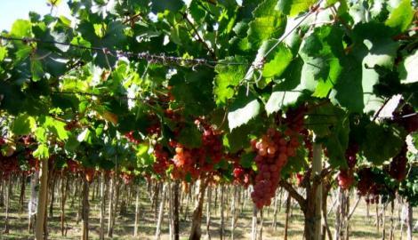 Se aproxima época de cosecha en el valle: Agrícola Campillay tendrá un peak de 1600 trabajos