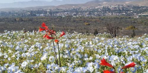 Municipios de Atacama crearán norma para proteger el desierto florido