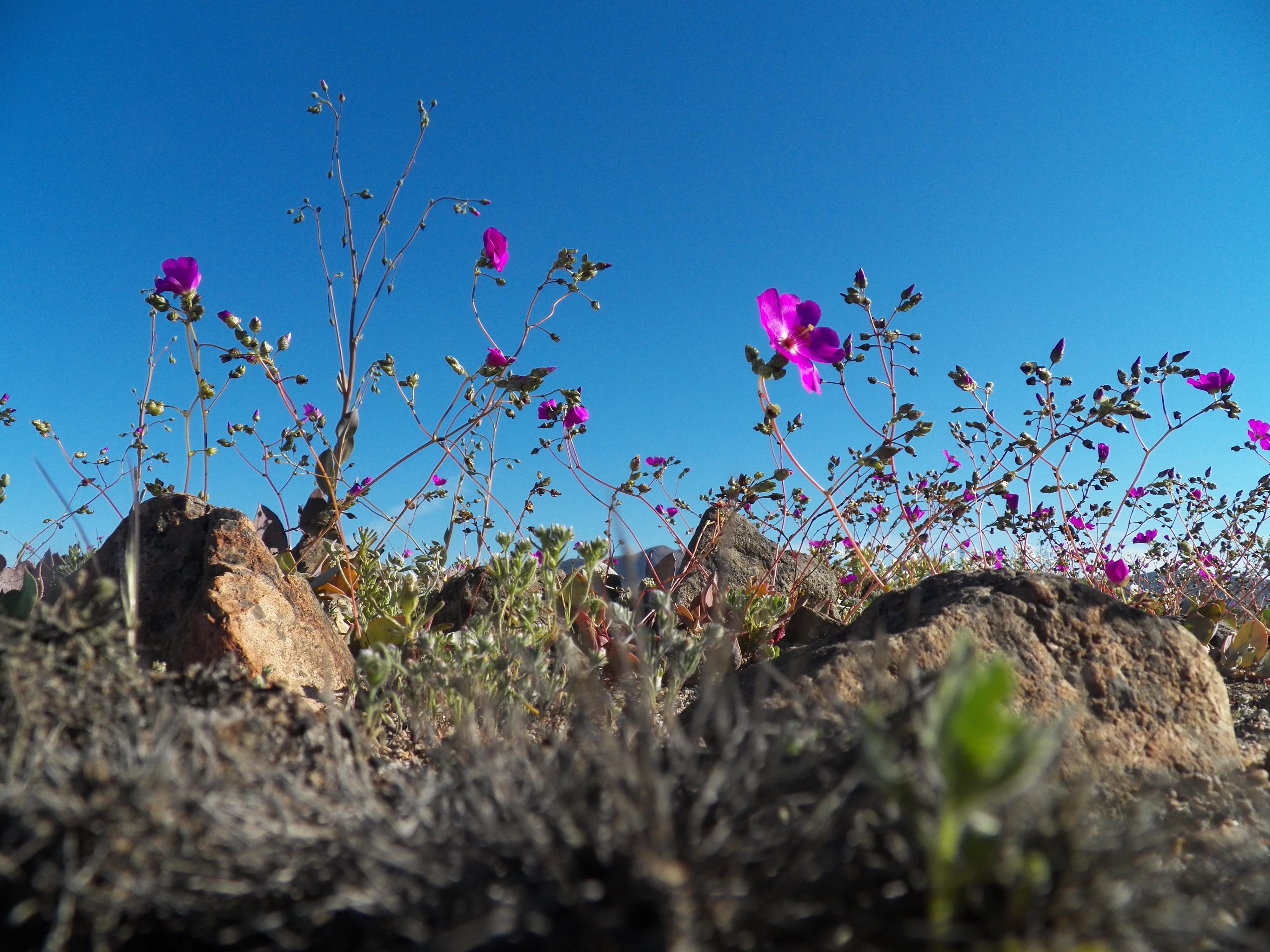 Escasas precipitaciones hacen inviable fenómeno del desierto florido este año