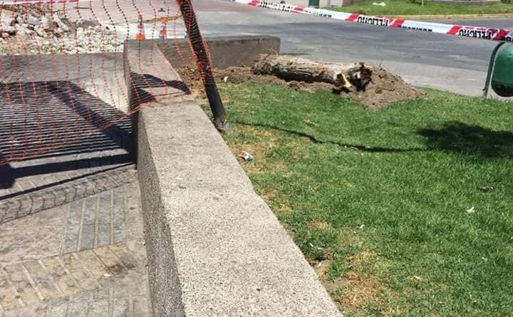 Emblemático árbol de Vallenar es arrancado irregularmente provocando gran indignación