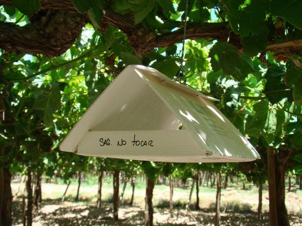 Instalan 300 trampas y emisores para control de polilla que afecta uva de mesa
