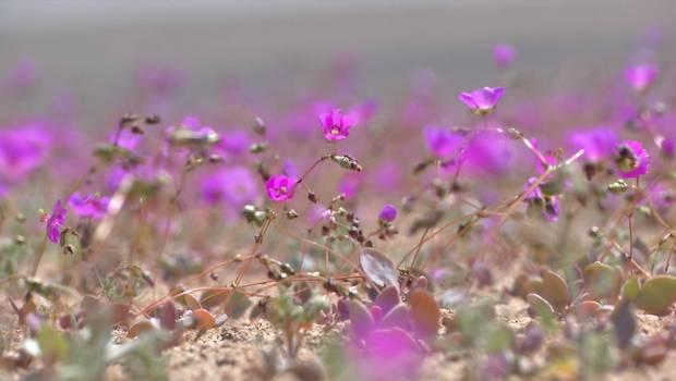 Surgen críticas al proyecto piloto que haría crecer el Desierto Florido todos los años