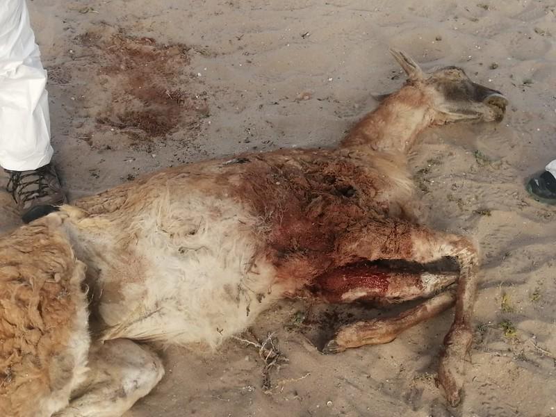 CONAF llama a tenencia responsable por nuevo ataque de perros a guanaco
