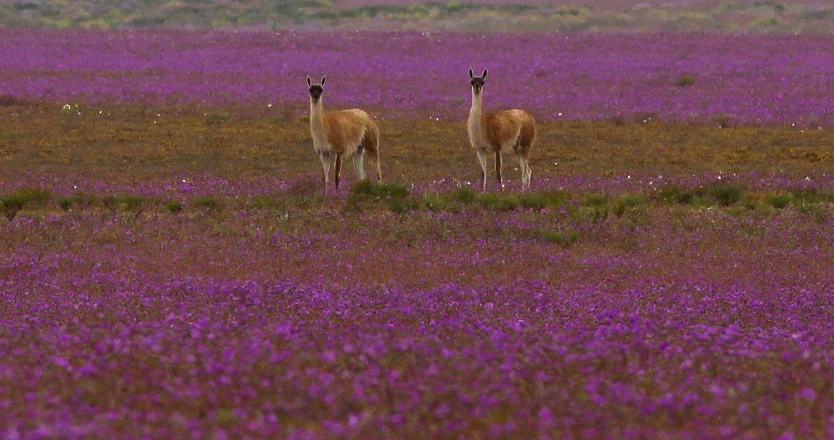 Conaf Atacama llama a no traer mascotas al desierto y no pisar las flores con los autos