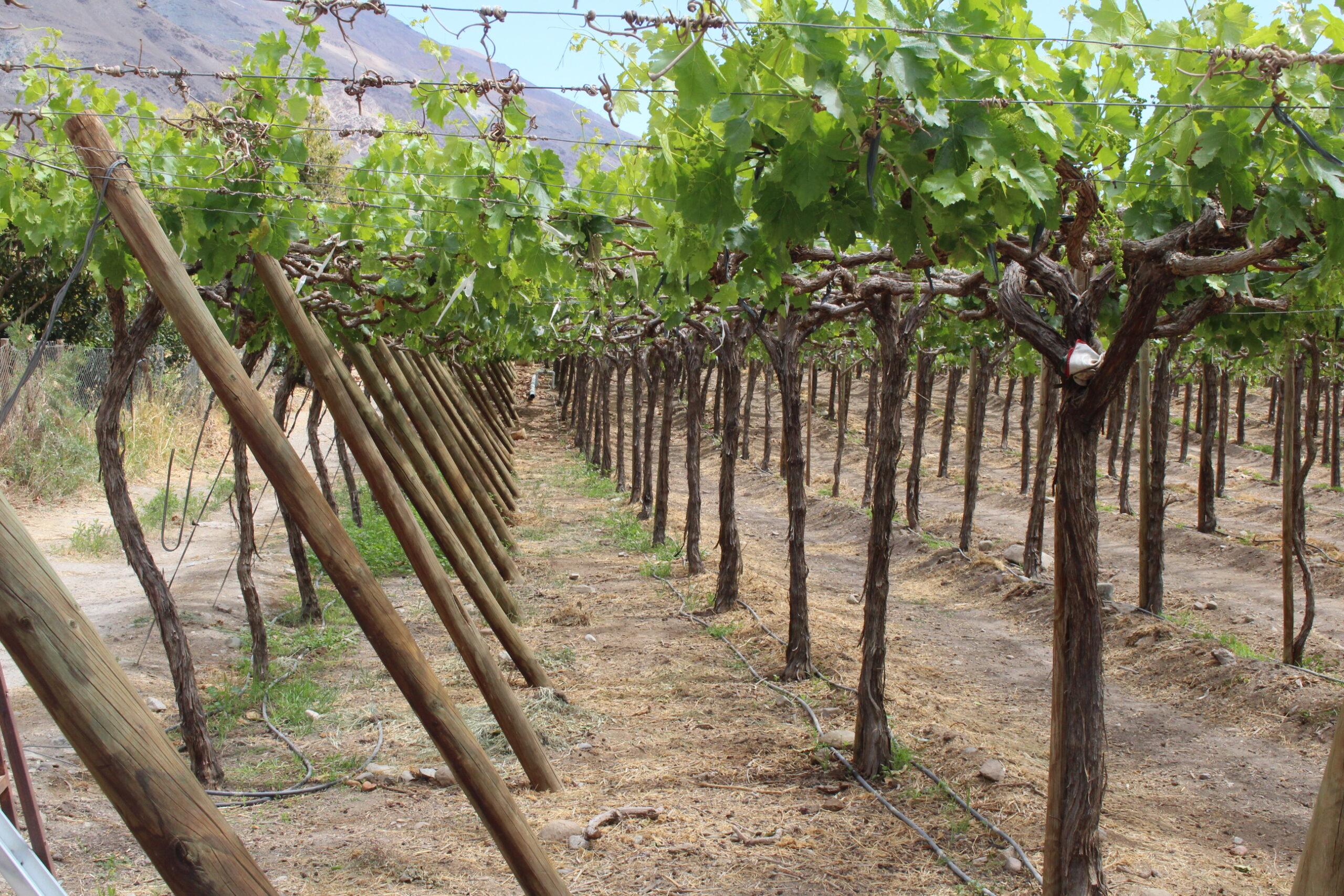 Pequeño productor de uva de mesa en El Olivo ahorrará energía para el riego gracias recursos de INDAP y CONADI en Atacama
