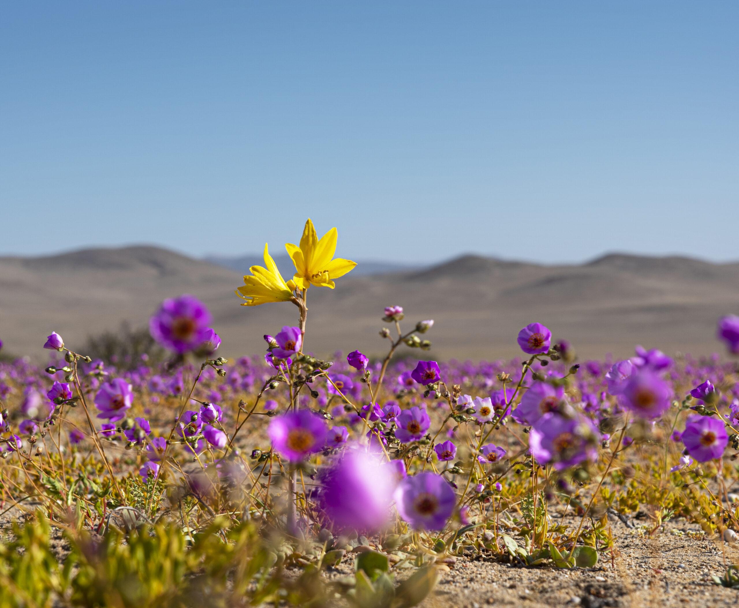 Se lanza oficialmente campaña de monitoreo del desierto florido