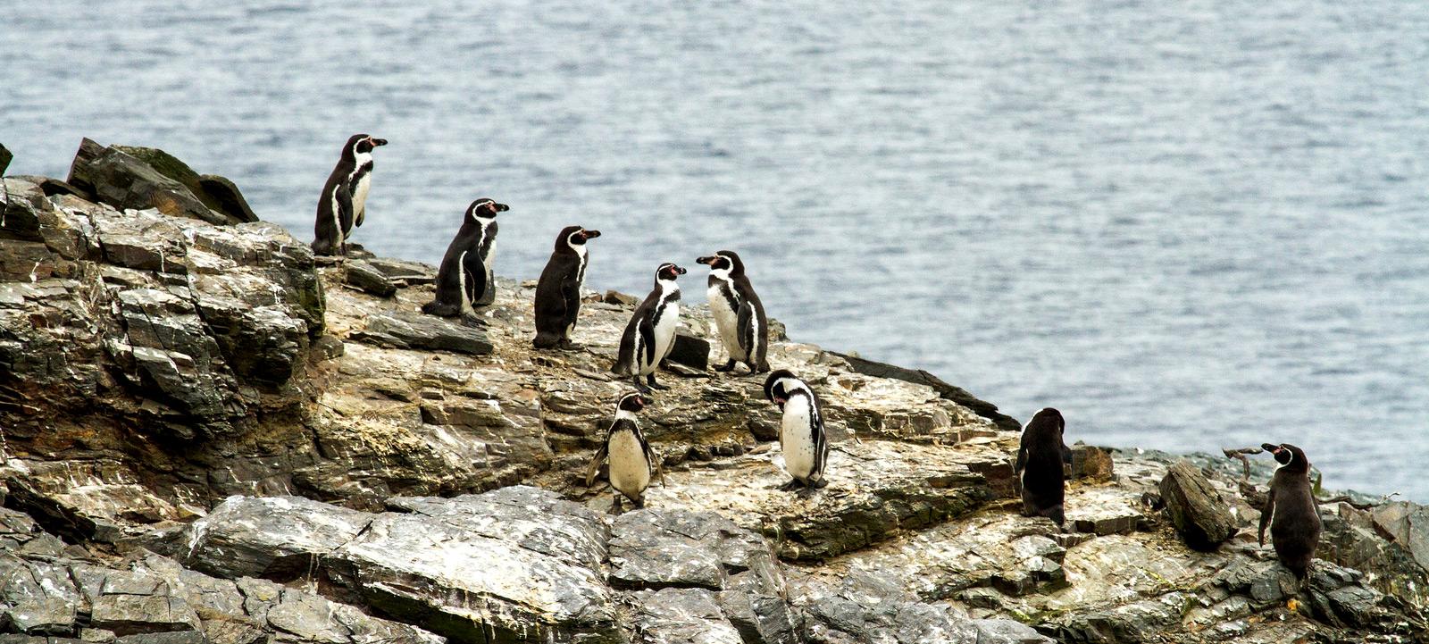 Gobernador de Atacama afirma que darán mayor celeridad para que reserva Pingüino de Humboltd se convierta en Área Marina Protegida de Múltiples usos